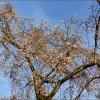 Blühender Kirschbaum im Januar