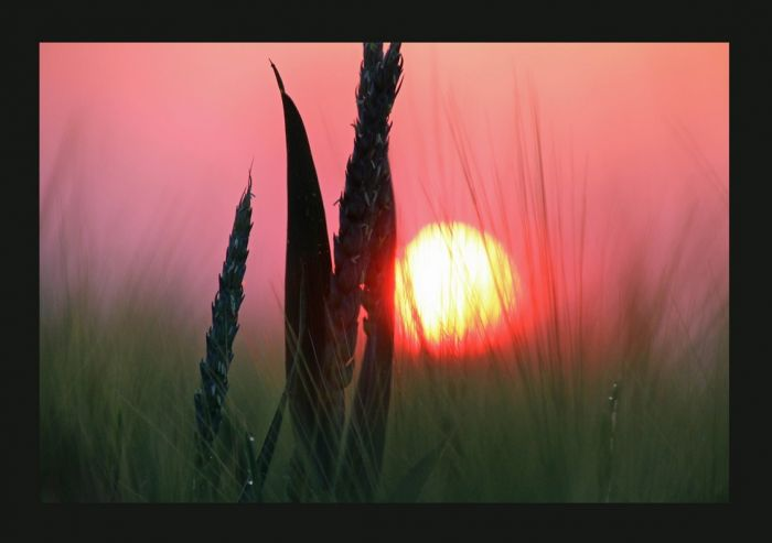 Kornähren am Morgen