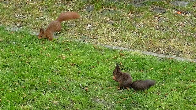 Zwei Eichhörnchen auf unserer Wiese