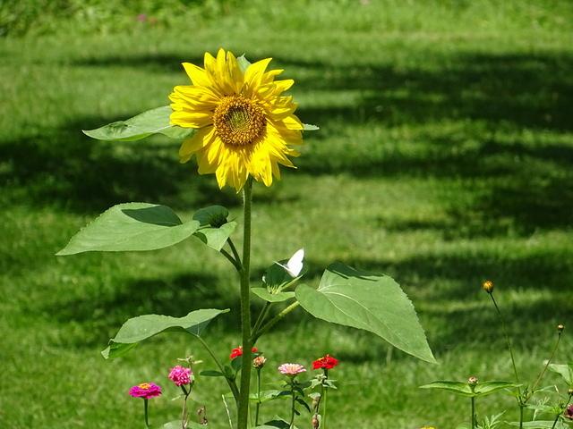 Sonnenblume mit Kohlweißling und Zinien