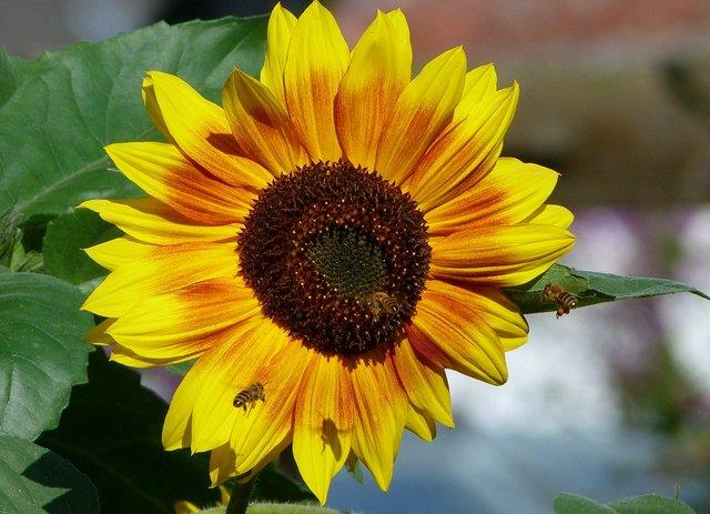 Sonnenblume und Bienen