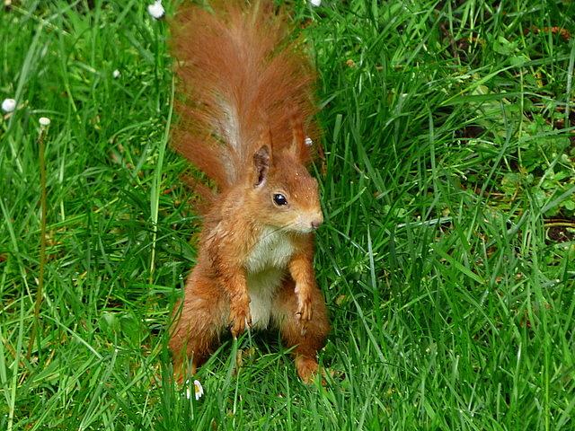 Junges Eichhörnchen auf unserer Wiese