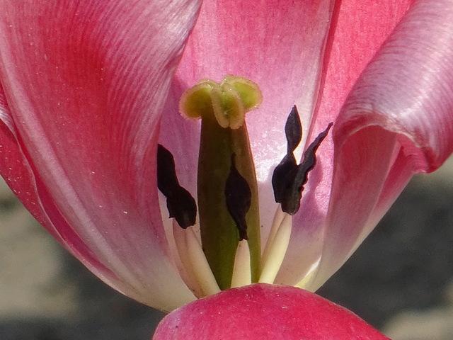 Stempel einer Tulpe