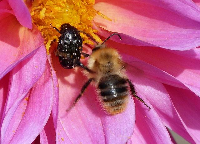 Biene Und Käfer