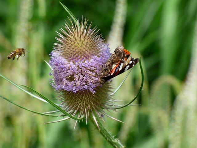 Karde mit Distelfalter und Biene