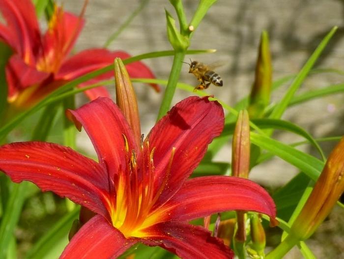 Biene von Blüte zu Blüte