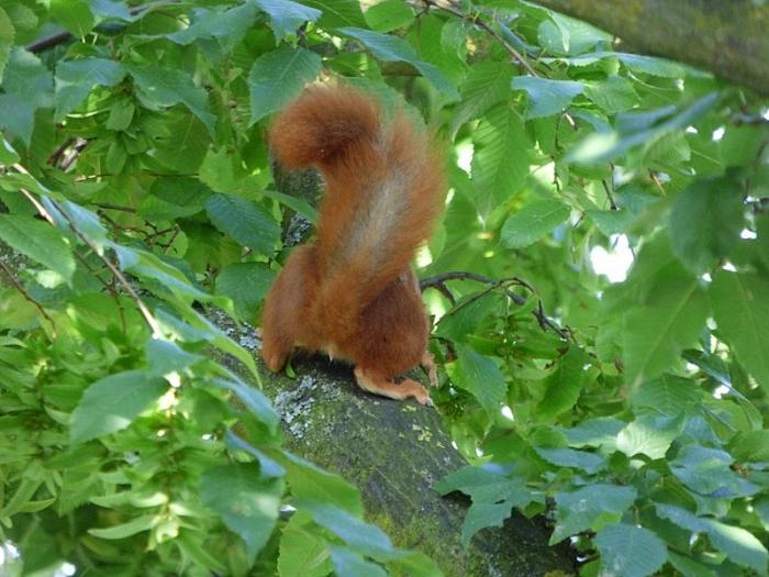 Eichhörnchen von hinten