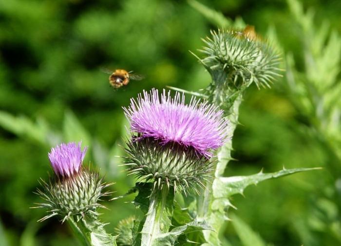 Disteln mit Bienchen