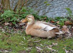 Große Ente
