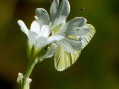 Weiße Blüte mit Kohlweißling