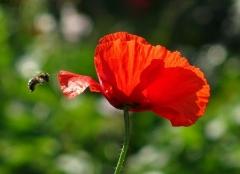 Mohnblüte und Biene