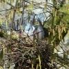 Zwei Tauben im Nest