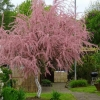 Frühlings Tamarisken