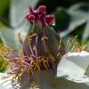 Blütenstempel der Strauchpäonie