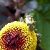 Winziger Käfer mit Herz