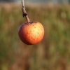 Apfel im Dezember