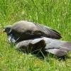 Taube nimmt ein Sonnenbad