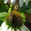 Biene und Mistbiene