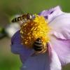 Schwebfliebe und Biene