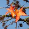 Amber Blätter
