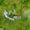 Jungfer im Grünen mit Biene