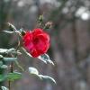 Rote Rose im Dezember