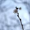 Winterblüher und Frühlingsboten zugleich