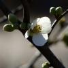 Blüte und Knospen