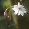 Baumblüte und Knospen