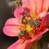 Feldwespe und drei Bienen
