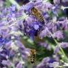 Zwei Bienen