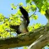 Nilgans im Baum