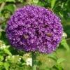 Allium und Bienen