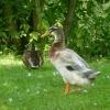 Große und kleine Ente