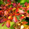 Rote kleine Blätter