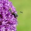Fliegende Ameise