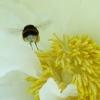 Hummel in einer Blüte