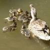 Ente und ihre Jungen
