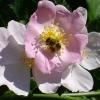 Buschblüten