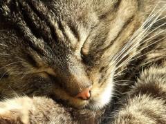 Eneyo:  Schlafende Katze