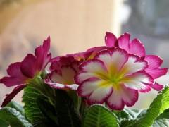 Felfrie:  Blüten