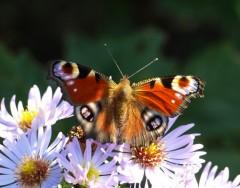 Christine:  Schmetterling