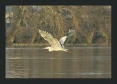 Jomo:  Fischreiher im Flug