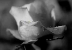 Johanna:  Rose mit Tropfen