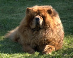 Bussi:  Chow Chow