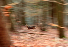 Johanna: Reh im Herbstwald