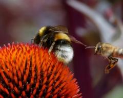 Bussi: Hummel und Biene