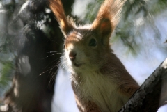 Felfrie: Eichhörnchen