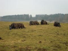 Graziella: Ruhende Pferde
