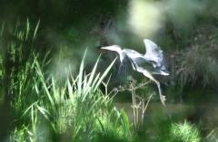 Sylke: Fischreiher